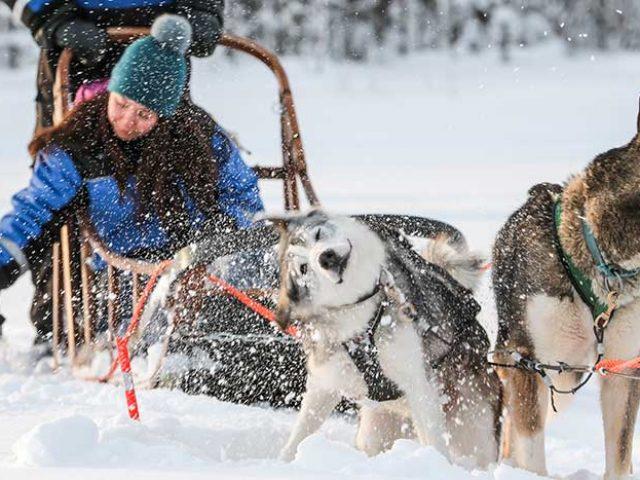 husky and reindeer combo safari