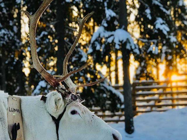 reindeer and husky combo day