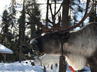 reindeer farm visit